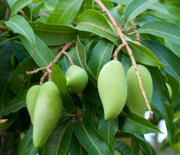 raw mango on tree