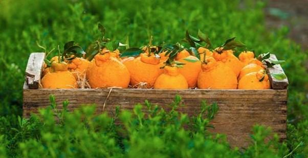 sumo_citrus_oranges