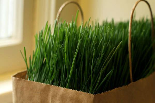 Fresh_Cafe_Wheatgrass